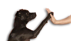 Privé-training - Zwarte hond geeft high five